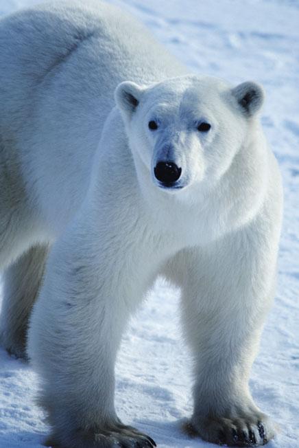 mr-polar-bear.jpg