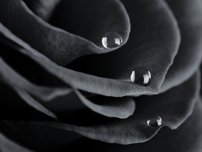 Black and White Rose Water Drops wallpaper